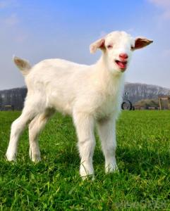 young-goat-on-a-grass-field