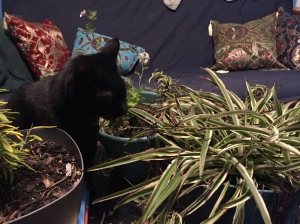 the plants finally came indoors, although I'm not sure the house has enough light to sustain them through the winter. Clio, in any case, was delighted to see the buffet brought back
