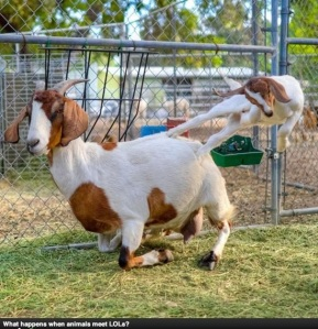 some goats